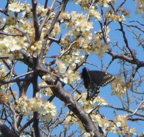 Escarpment cherry trees in blossom with Palamedes Swallowtail (Courtesy of Paula Richards)