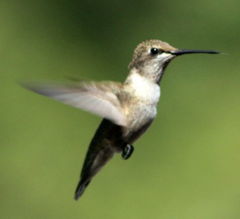 A sure sign of spring - female hummingbird caught mid-flight seeking nectar. (Courtesy of Jim Baines)