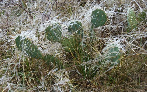 Even the prickly pears had iciles! (Courtesy of Paula Richards)