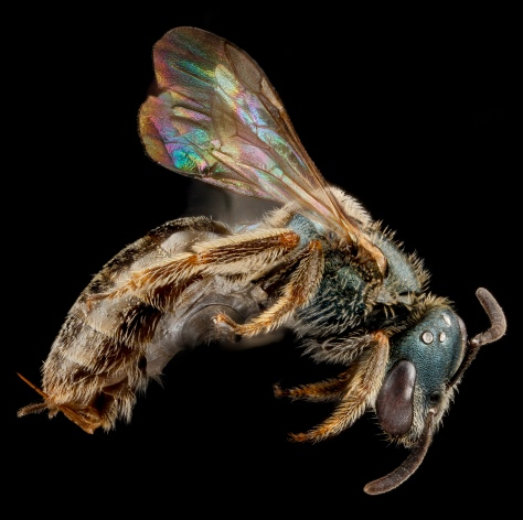 Native bee from Big Thicket National Preserve in TX (Courtesy of Sam Droege & USGS, via creative commons licensing) For more cool photos, check out their bee albums.