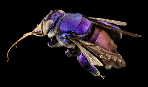 Close up of orchid bee -- not all bees are the same.