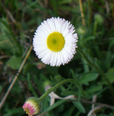 Plains fleabane, member of the Aster family.  A funny name for a lovely wild flower that blooms from March to November. (Courtesy of Paula Richards)