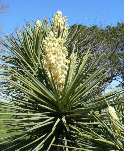 The blooms open at night and attract the yucca moth as a primary pollinator.  (Courtesy of Paula Richards)