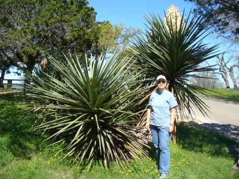 "For comparison, the person in the picture is 5'6"".  This is one REALLY big yucca!  (Courtesy of Paula Richards)"