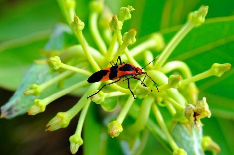 Milkweed bug exploring a milkweed plant. (Courtesy of Jim Baines)