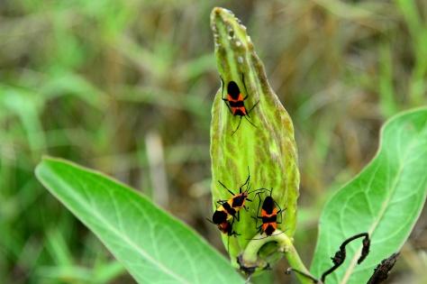 Milkweed bugs sucking sap from a milkweed seed pod. (Courtesy of Jim Baines)