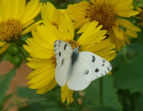 Checkered white butterfly feasting on a volunteer camphor daisy. (Courtesy of Paula Richards)