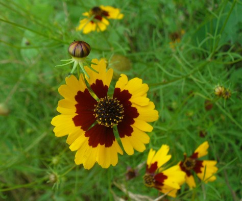 Coreopsis volunteer in Monarch Waystation. (Courtesy of Paula Richards)