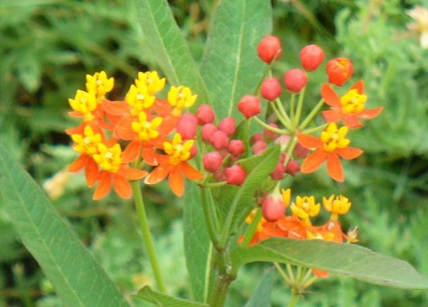 Tropical milkweed, a monarch favorite. (Courtesy of Paula Richards)