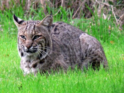 Bobcat just chilling in the grass.  (Courtesy of Phil Wyde)