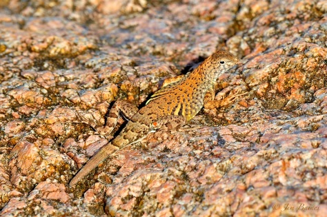 The earless lizard is hard to spot, whether you're his next meal or his is yours. (Courtesy of Jim Baines)