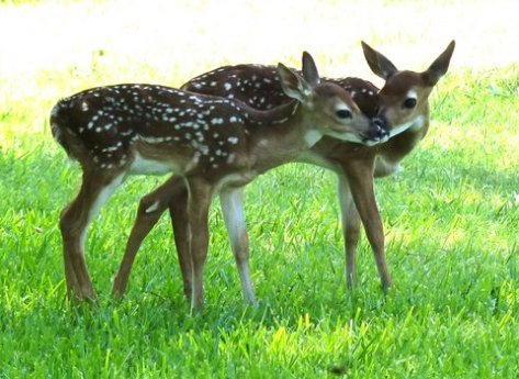 The coloring of these fawns helps protect them until they are able to fend for themselves. (Courtesy of Phil Wyde)