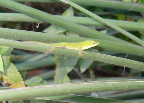A green anole lizard hangs out on a stalk of a yucca plant. (Courtesy of Paula Richards)