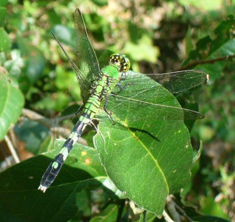 The green darner hides against the green leaves. (Courtesy of Paula Richards)