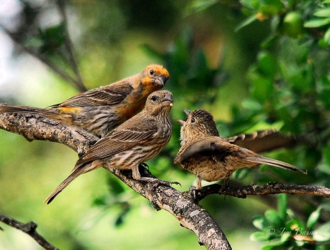 A house finch family showing coloration through the generations. (Courtesy of Jim Baines)