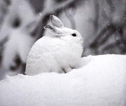 snowshoe-hare_Michael S Quiton_NatlGeo C