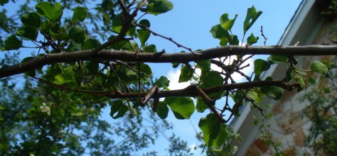 Shape helps the walking stick blend in with the twigs on this tree. (Courtesy of Paula Richards)