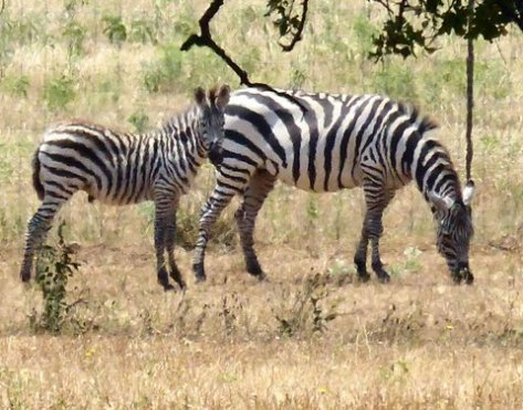 You may think the zebra standouts - except to lions who are color blind. What the lion sees is blended into the background of trees and grasses. (Courtesy of Phil Wyde)