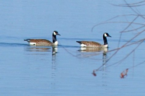 Pair of Canadian geese. (Courtesy of Phil Wyde)