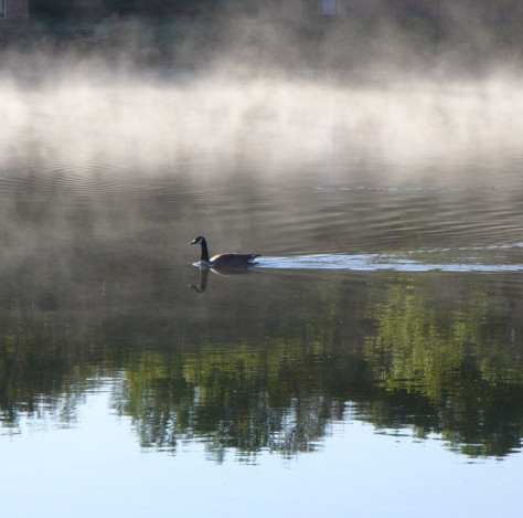 Canadian goose out for morning swim