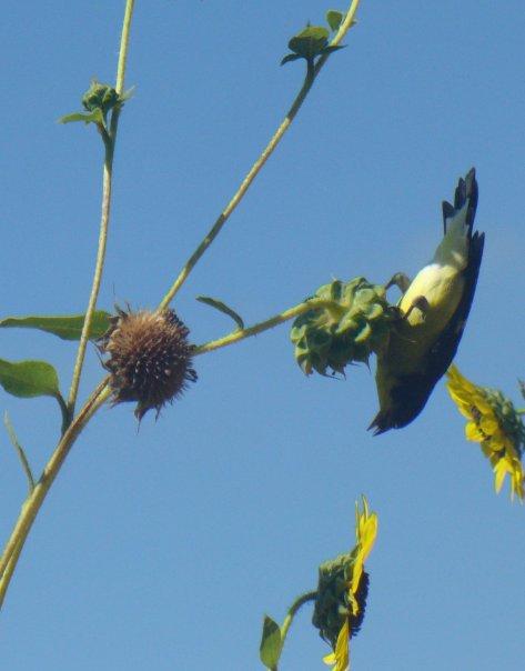 Lesser goldfinch (Courtesy of Paula Richards)