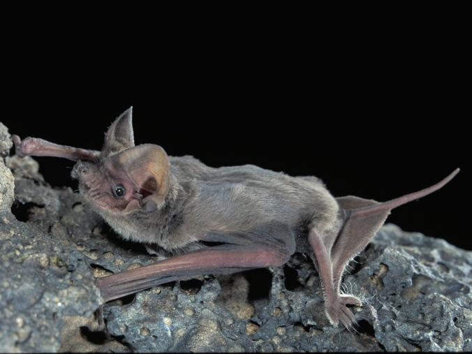 mexican_(brazilian)_free-tailed_bat---j._scott_altenbach,_university_of_new_mexico