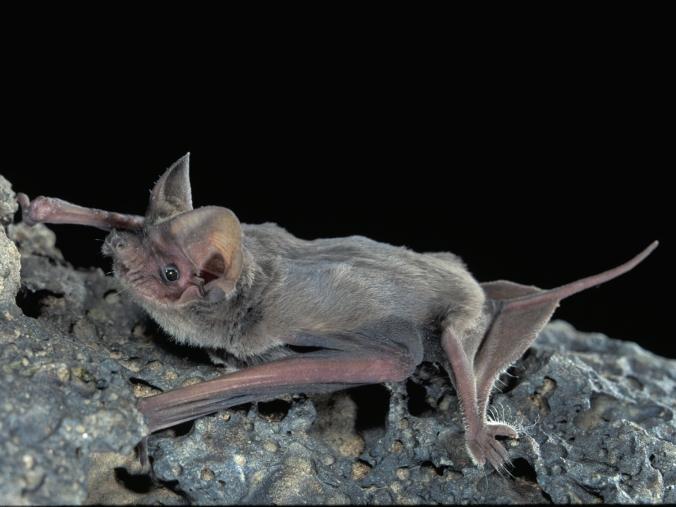 mexican_(brazilian)_free-tailed_bat---j._scott_altenbach,_university_of_new_mexico